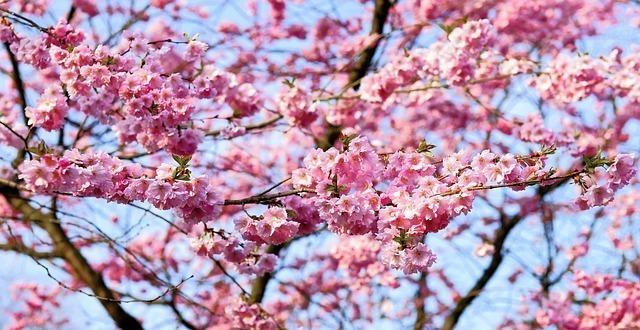 cherry-blossom-1318258_640.jpg