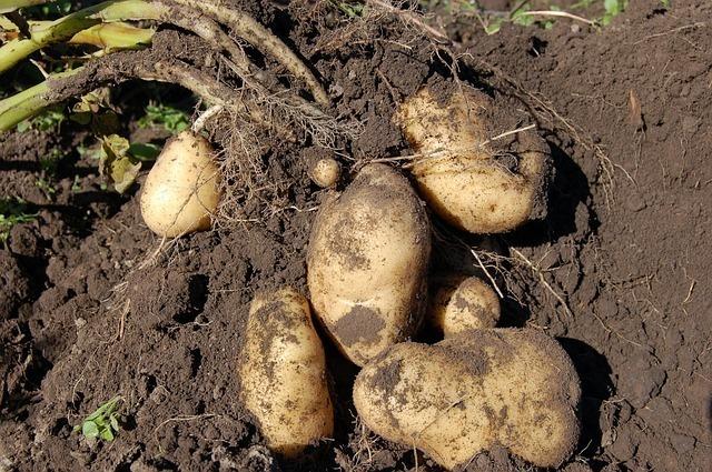 potatoes-1637280_640.jpg